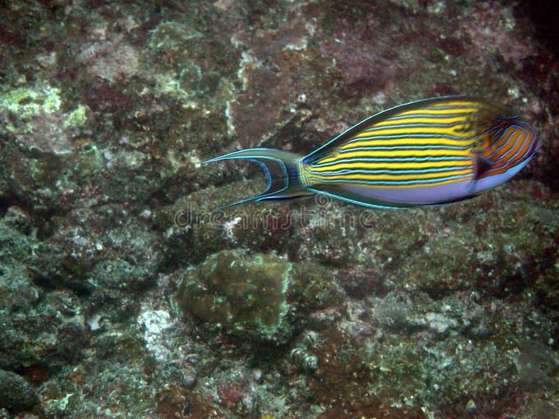 热带鱼 库存照片