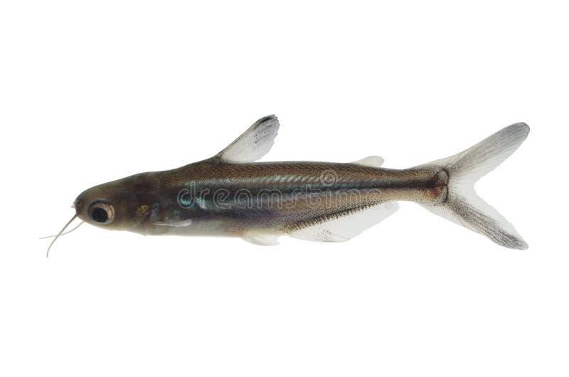 热带鱼pangasius hypophthalmus 免版税库存照片
