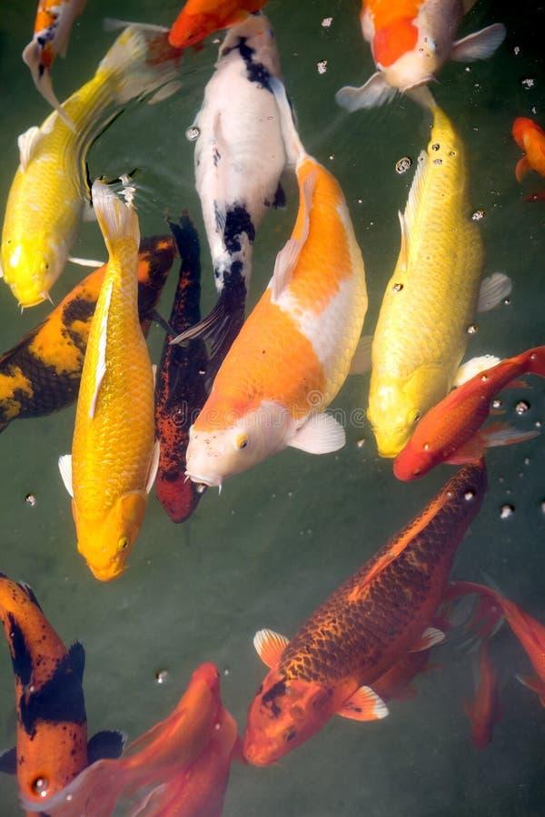 热带鲤鱼koi成熟的池塘 免版税库存照片