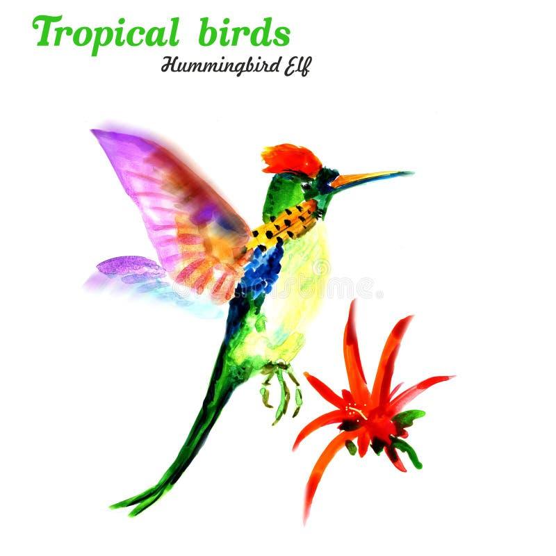 热带鸟 蜂鸟矮子 r 库存例证