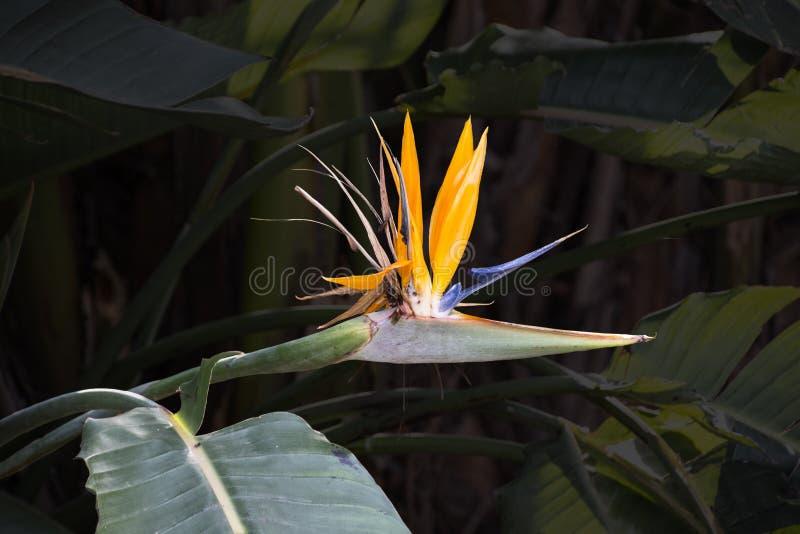 热带鹤望兰reginae开花的花  长的桔子 Strelizia 鸟加那利群岛天堂tenerife 库存图片