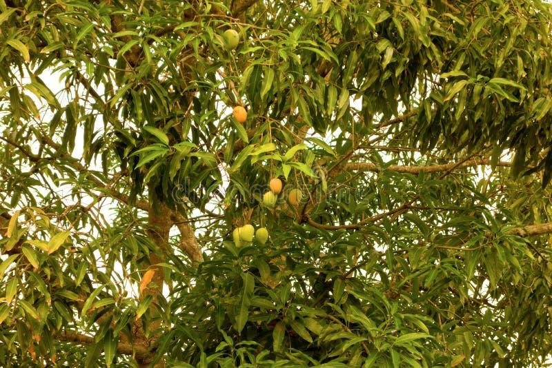 热带水果在加勒比 免版税图库摄影
