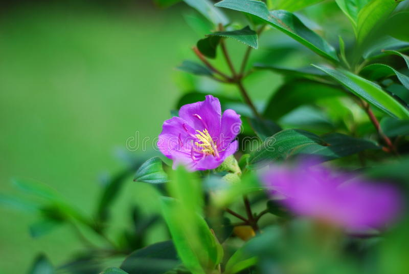 热带紫罗兰花 免版税库存照片