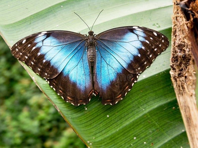 热带蝴蝶:morpho peleides 免版税库存图片