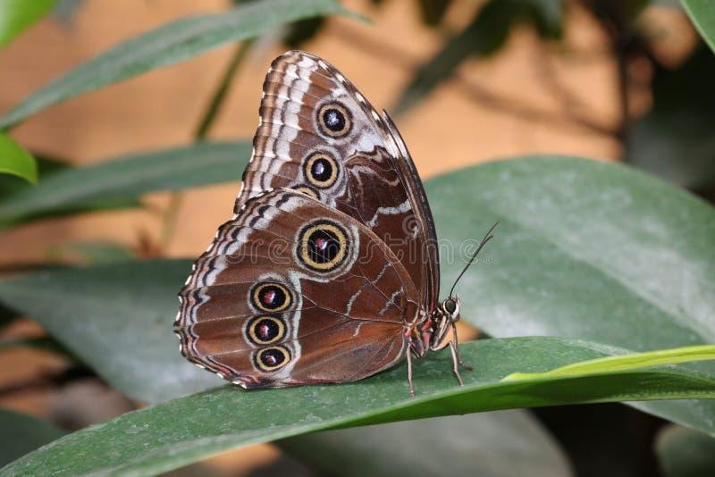 热带蝴蝶 免版税图库摄影