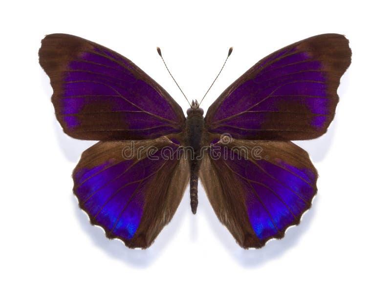 热带蝴蝶Eunica alpais excelsa 库存照片