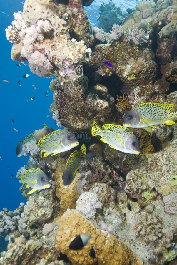 热带blackspotted珊瑚礁的sweetlips 库存照片