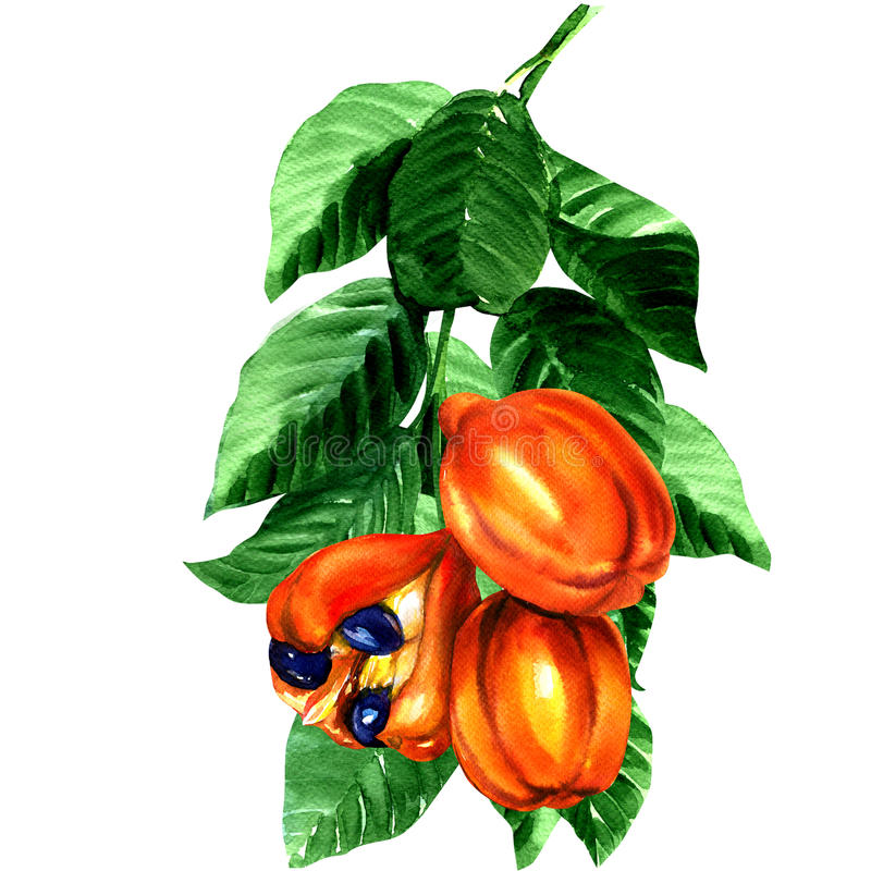 热带blighia sapida果子,西非荔枝果树 向量例证