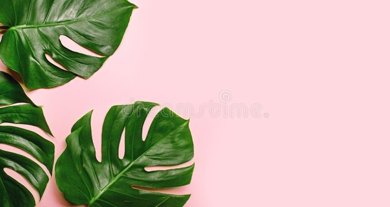热带monstera在桃红色背景离开 免版税库存照片