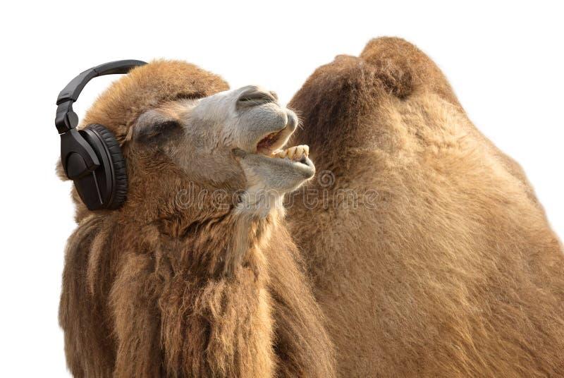 热情地唱歌骆驼的耳机 库存图片