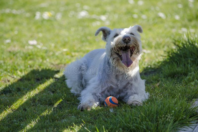 热的白色髯狗混合在树荫下休息 免版税库存图片