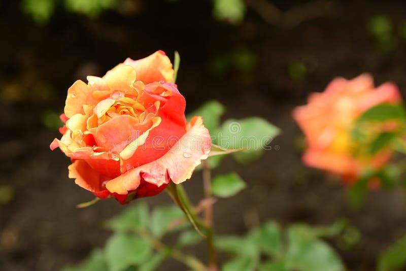 热的红色玫瑰 免版税库存照片
