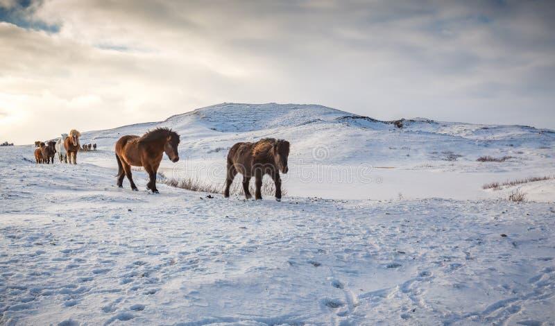 热诚的冰岛马横跨雪草甸走在冬天 库存照片