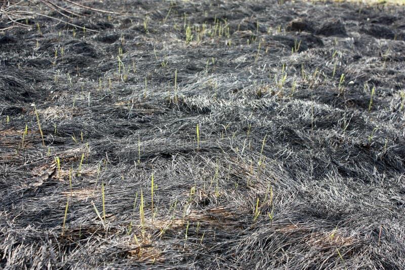 焦土,春天火 与被烧的草的一个领域 昆虫的破坏 年轻草草词根 免版税库存照片