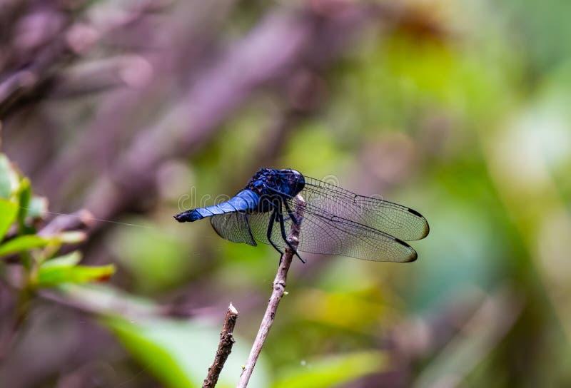 焦点被堆积的宏观蓝色蜻蜓 图库摄影