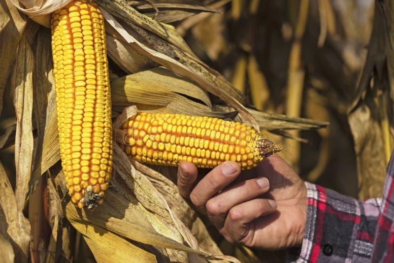 仍然玉米在植物在农夫手上 免版税库存照片