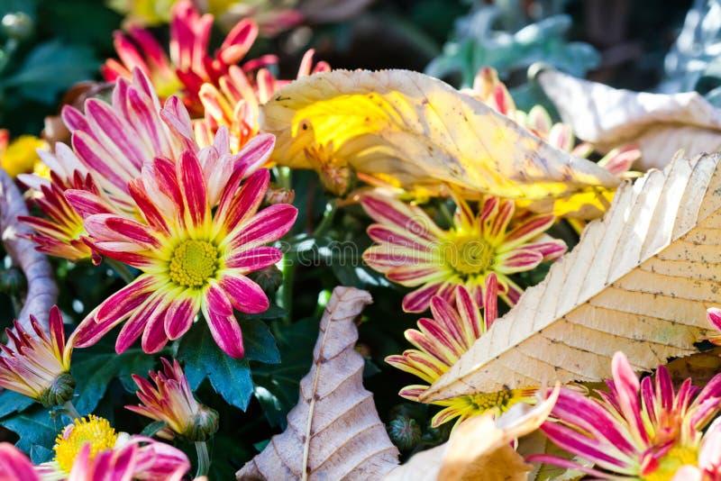 仍然秋天生活 开花红色黄色 菊花 在上面的槭树叶子 延命菊 免版税库存照片