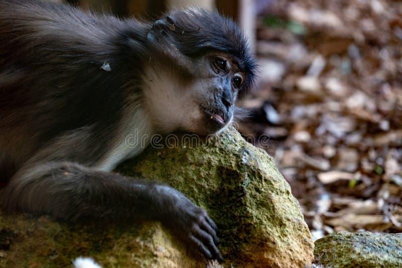 煤烟灰白眉猴cercobecus torquatus猴子 免版税库存照片