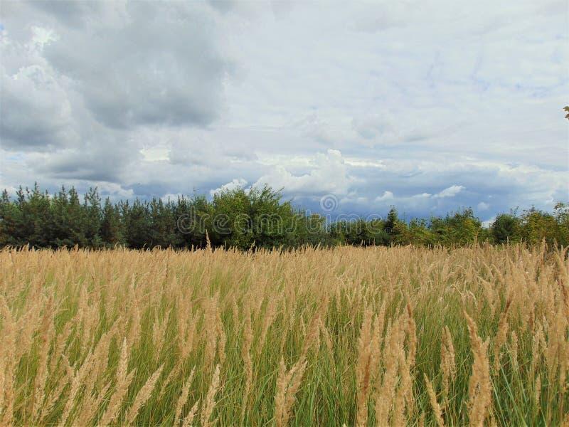 照片与与干燥金黄草和狂放的海鼠李灌木密集的丛林的风景背景夏天晴天  免版税库存照片