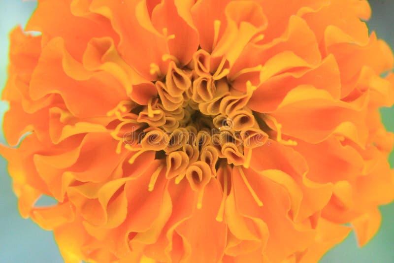 照片描述从万寿菊Tagetes花瓣的摘要甜橙花背景 免版税库存图片