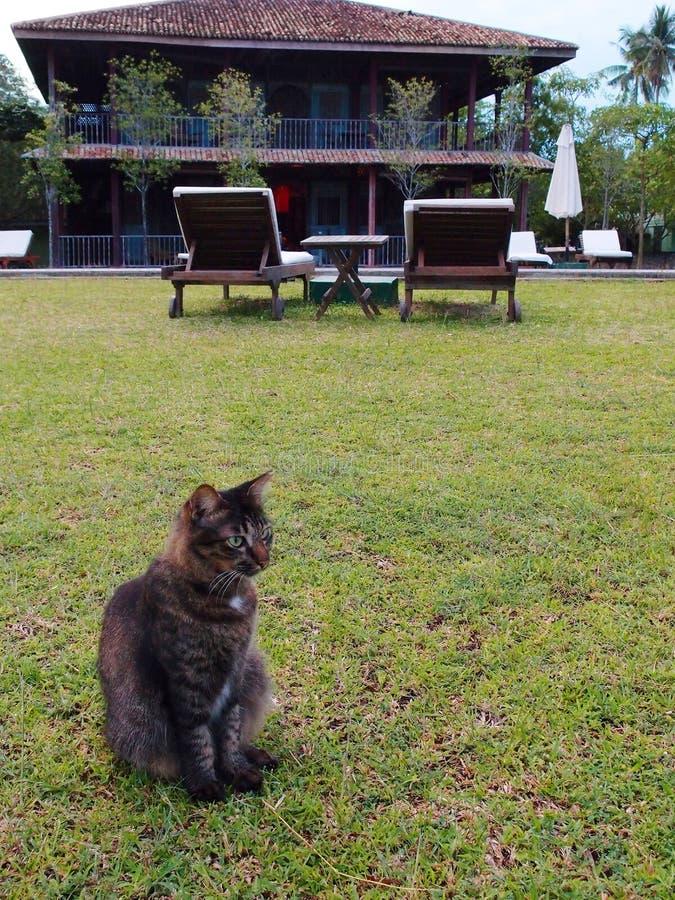 在庭院草坪的猫 图库摄影