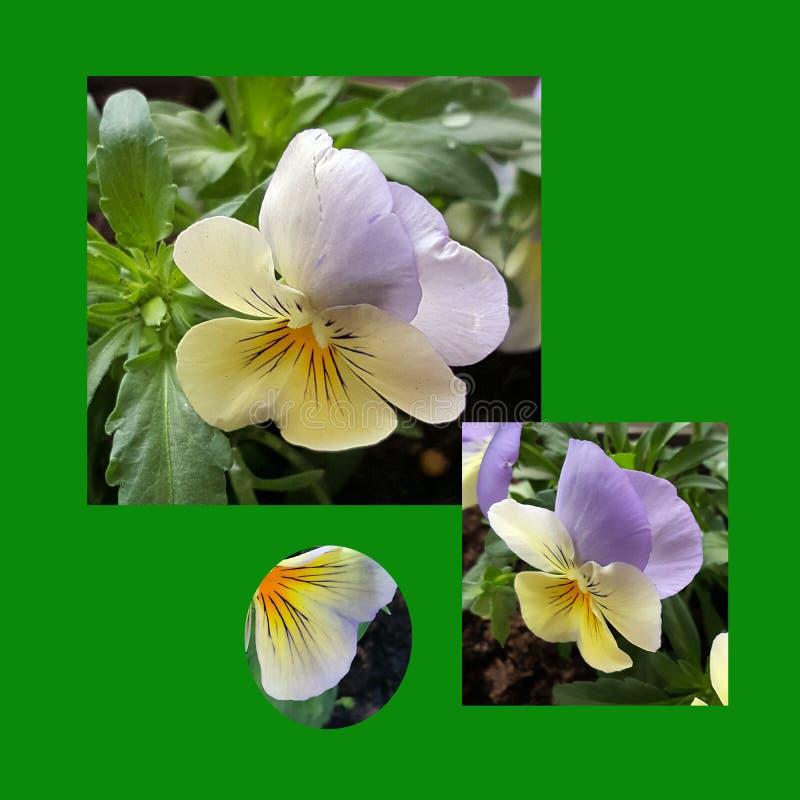 照片的构成与蝴蝶花的 免版税库存图片