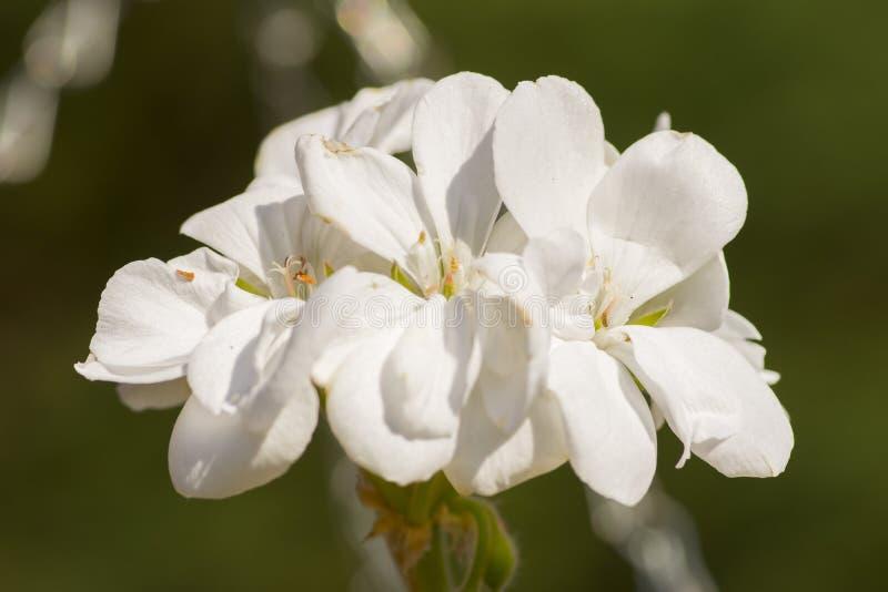 照片的白色樱花关闭 免版税库存图片
