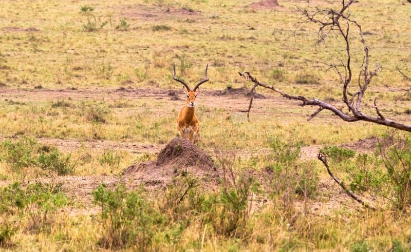 照片系列:大飞羚的猎豹狩猎 第一个情节 肯尼亚mara马塞语 库存图片