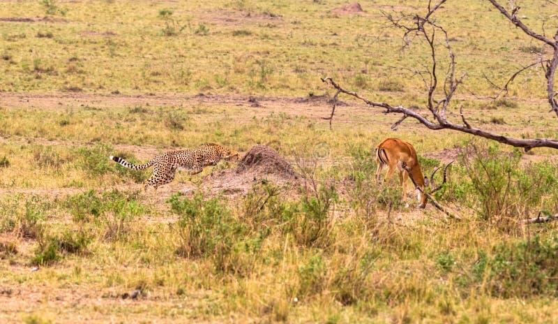 照片系列:大飞羚的猎豹狩猎 第三个情节 肯尼亚mara马塞语 免版税库存照片