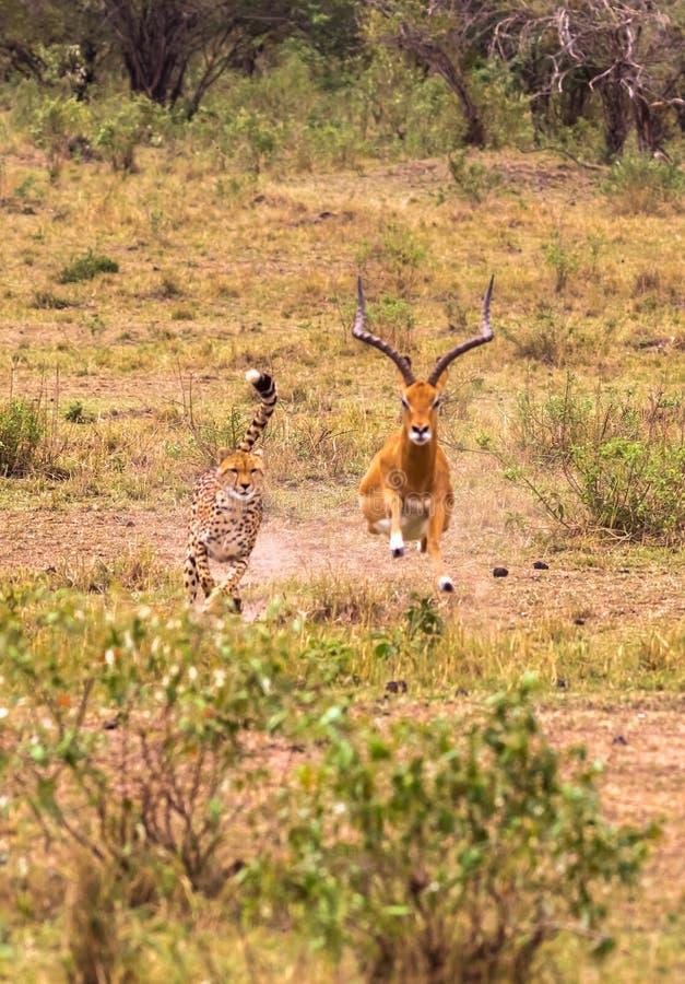 照片系列:大飞羚的猎豹狩猎 第九个情节 肯尼亚mara马塞语 库存照片
