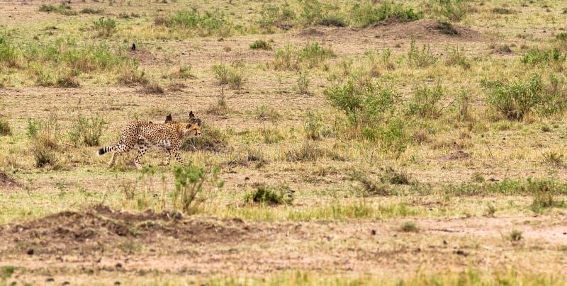 照片系列:大飞羚的猎豹狩猎 第二个情节 肯尼亚mara马塞语 免版税库存图片