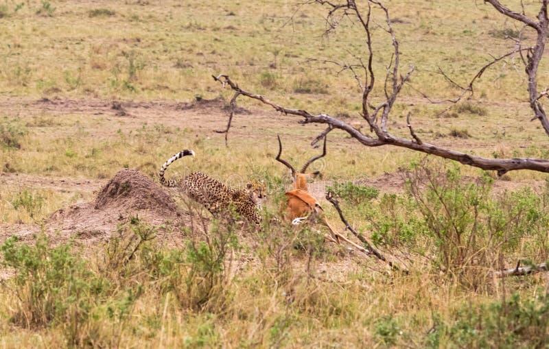 照片系列:大飞羚的猎豹狩猎 第五个情节 肯尼亚mara马塞语 图库摄影