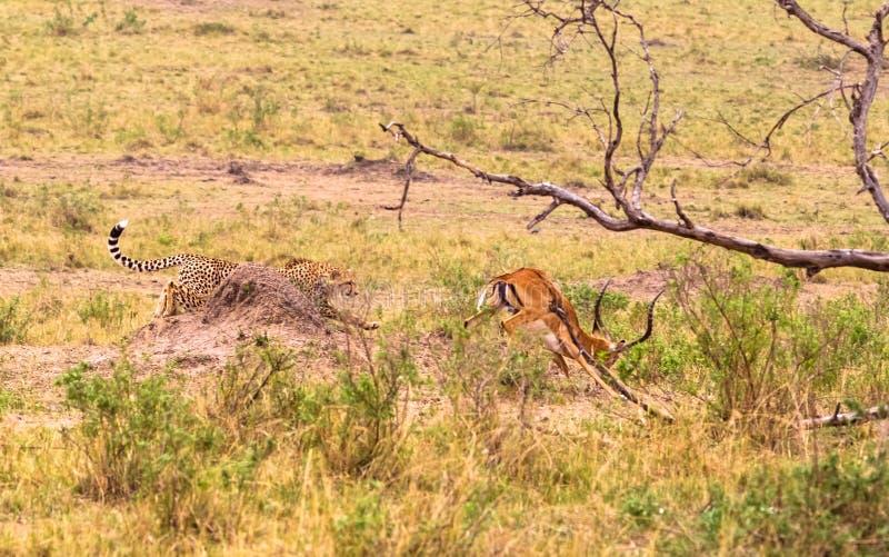 照片系列:大飞羚的猎豹狩猎 第四个情节 肯尼亚mara马塞语 免版税库存图片