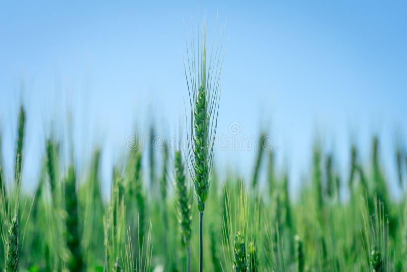 照片绿色麦田 粮食作物的耕种 图库摄影