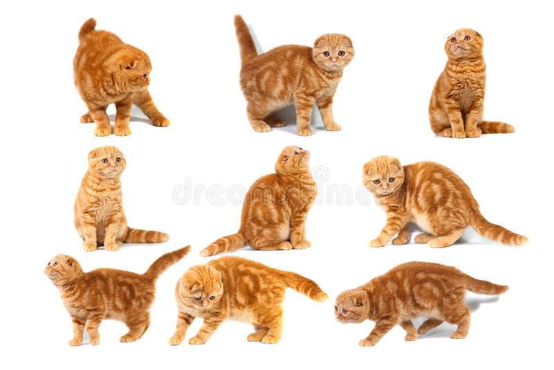照片苏格兰人拼贴画折叠在奶油的似猫的红色大理石 免版税库存照片