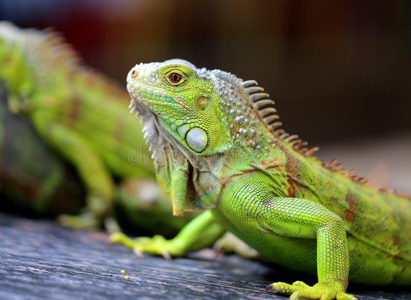 照片鲜绿色的鬣鳞蜥 图库摄影