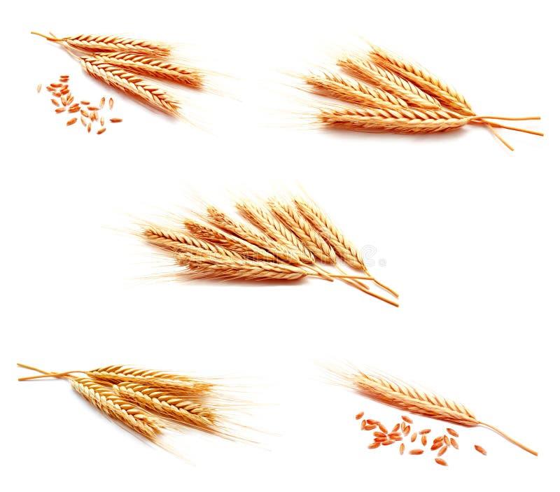 照片麦子在白色隔绝的耳朵玉米的汇集 免版税图库摄影