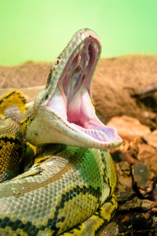 照片Python打呵欠的蛇玻璃容器 免版税图库摄影