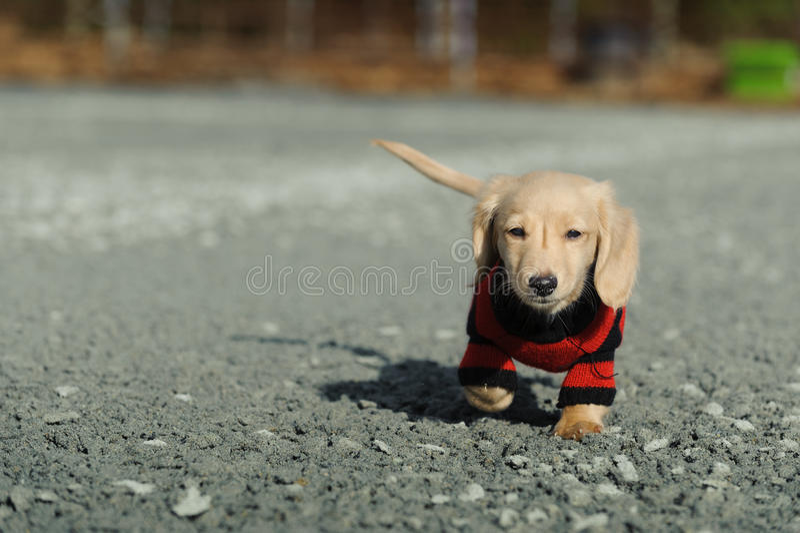 照相机往结构的达克斯猎犬小狗 库存图片