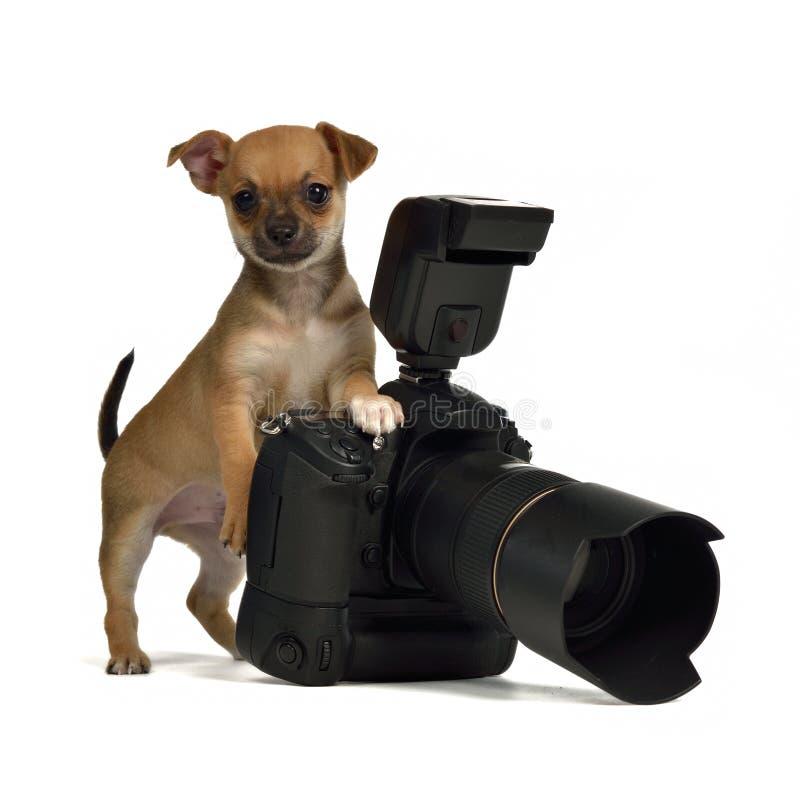 照相机chiuahua照片小狗 免版税库存图片