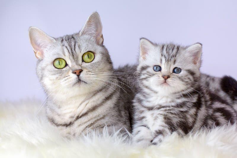 照顾与幼小小猫的猫在绵羊毛皮 图库摄影