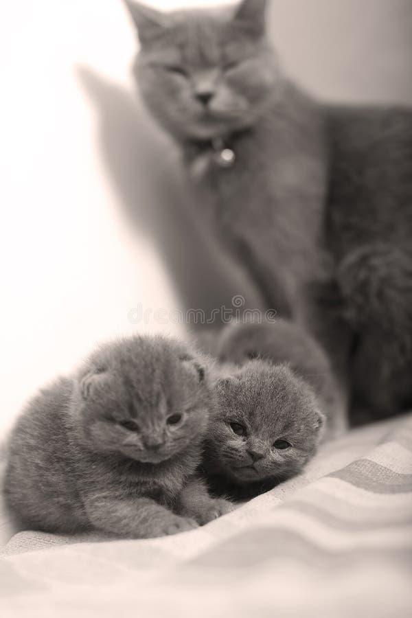照顾小猫的英国Shorthair猫 库存照片