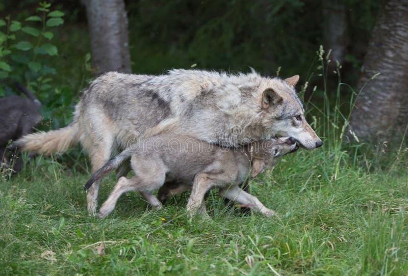 照顾狼并且投入赛跑 库存照片