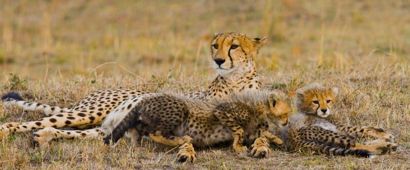 照顾猎豹和她的崽在大草原 肯尼亚 坦桑尼亚 闹事 国家公园 serengeti 马赛马拉 免版税图库摄影