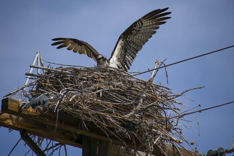 照顾白鹭的羽毛入巢 免版税库存图片