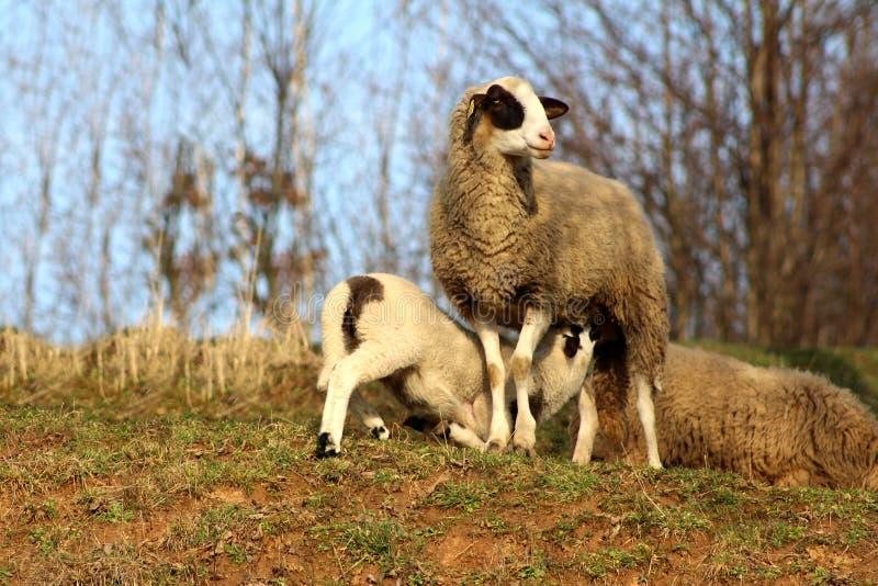 照顾站立在温暖的太阳和喂养她的小羊羔的绵羊 库存照片