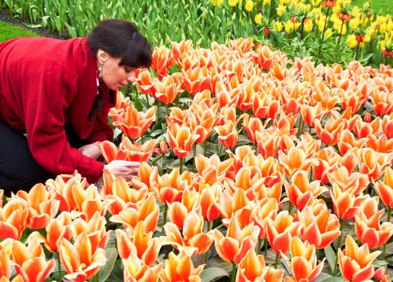 照顾郁金香的女孩在Keukenhof花园里 免版税库存图片