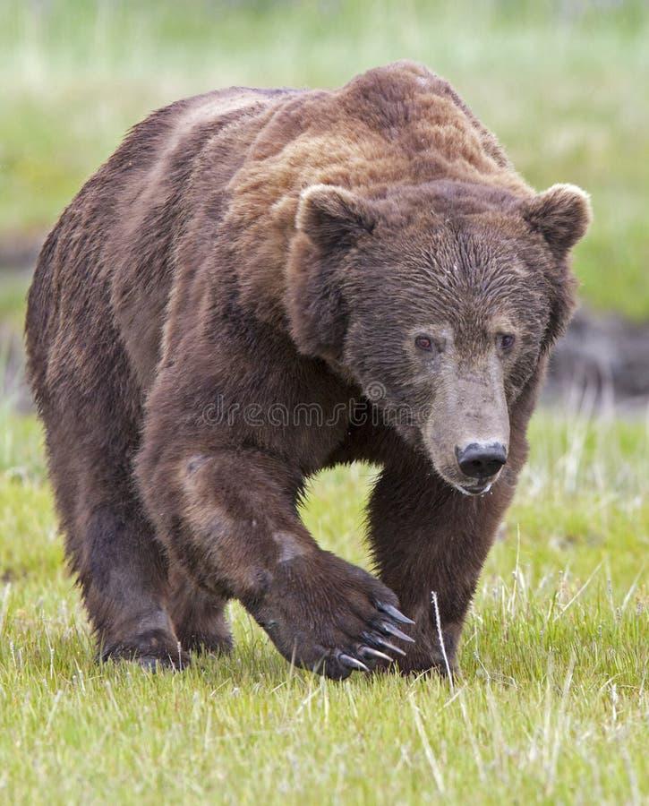 熊公猪北美灰熊 免版税库存照片