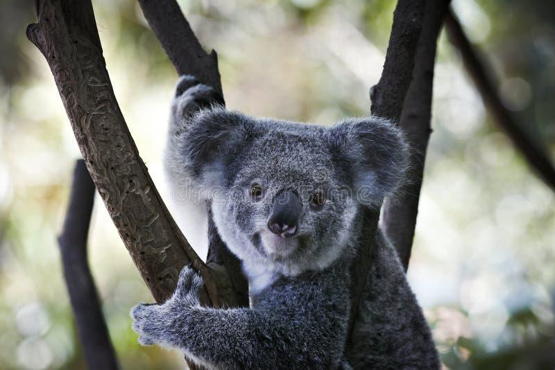 熊分行考拉开会 库存图片