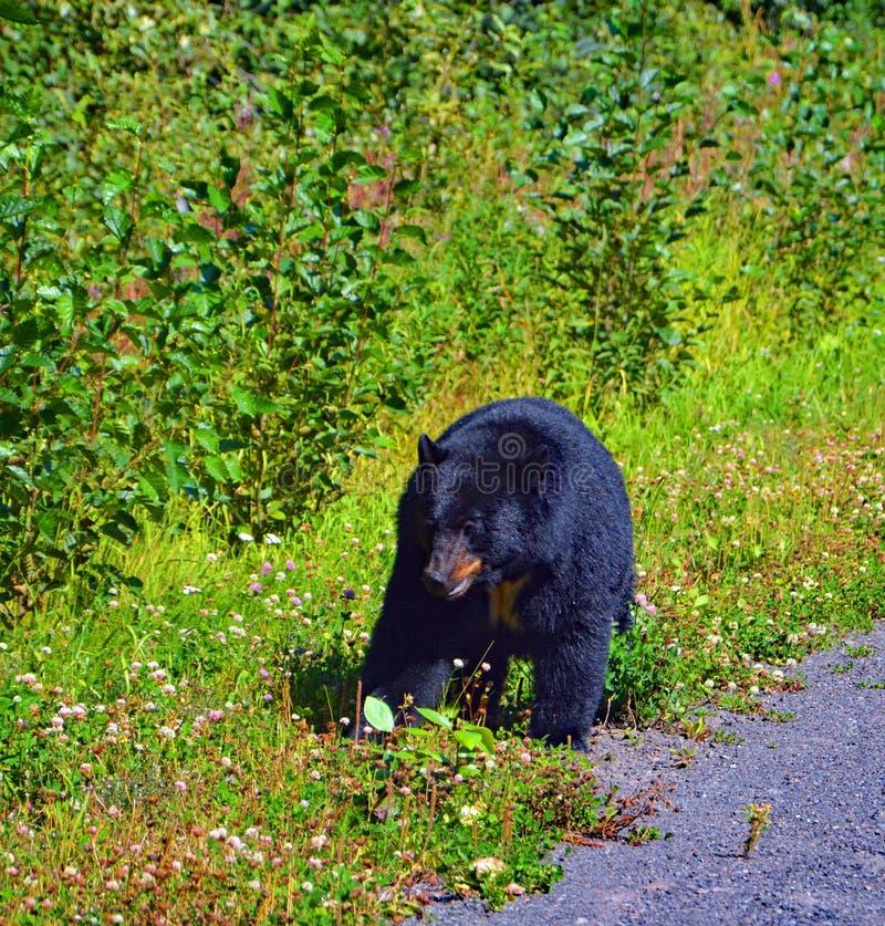 黑熊加拿大多数熟悉的野生动物 免版税图库摄影